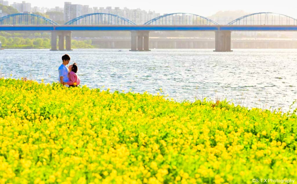汉江油菜花、飘在思密达、首尔故事
