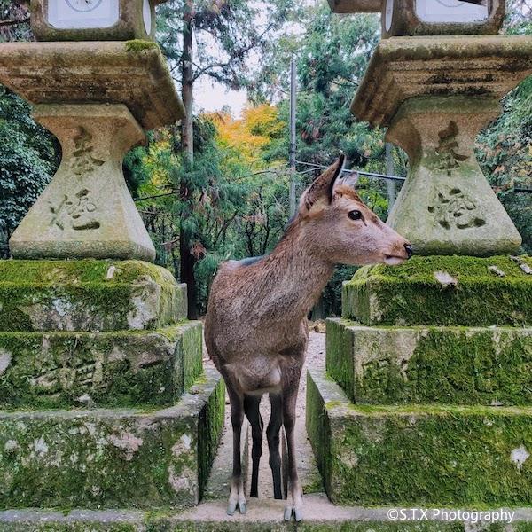 春日大社、奈良、飘在思密达