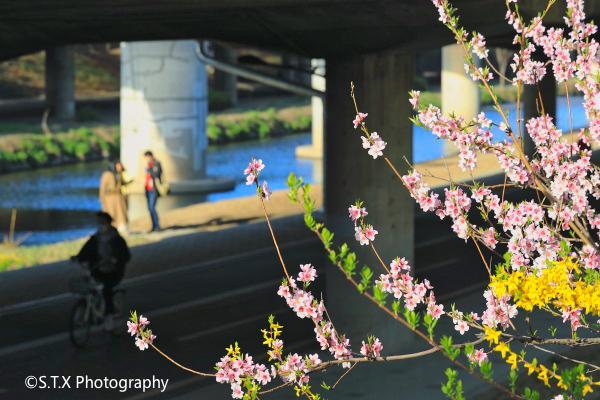 首尔樱花、韩国风光