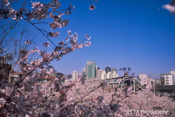 2020首尔樱花