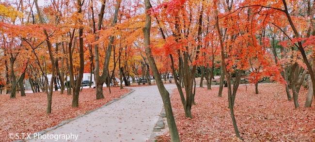 佛国寺赏枫红叶