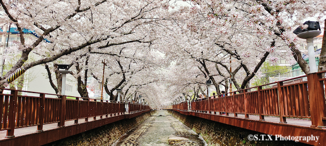 镇海樱花、飘在思密达2021手机摄影作品