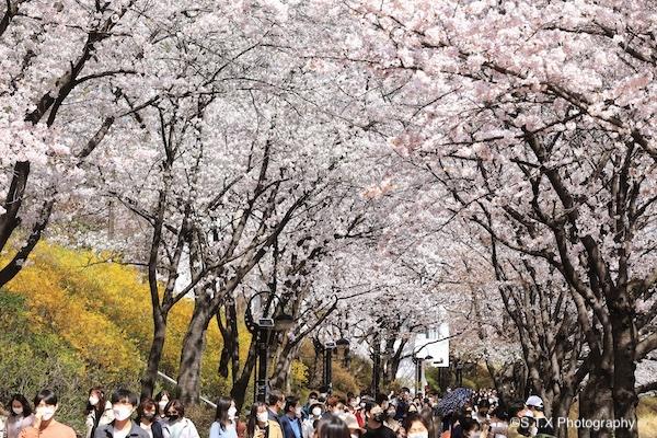 蚕室石村湖樱花