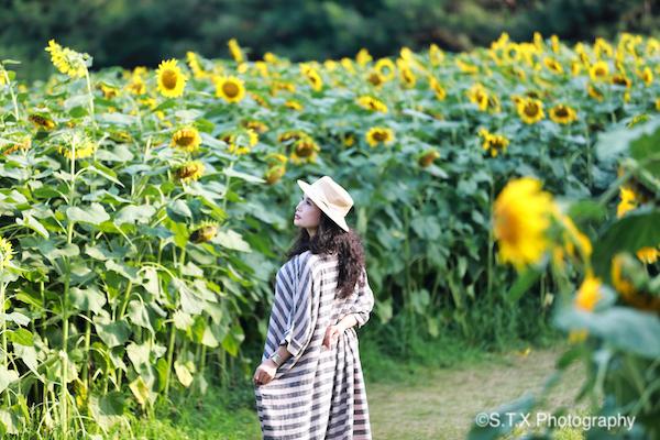 奥林匹克森林公园百亩向日葵