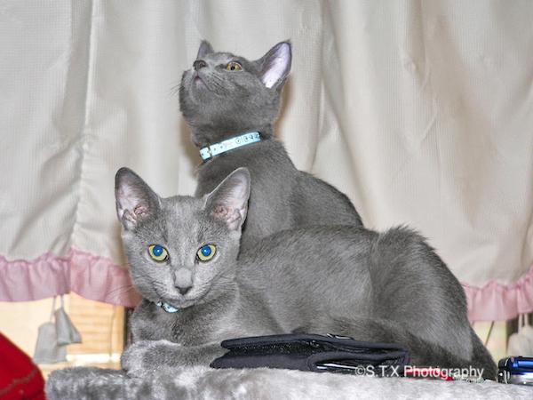 俄罗斯蓝猫猫仔